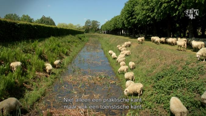 Schapen grazen langs grachtkanten Schoonselhof Fons Duchateau Astad TV Borgerhout TV